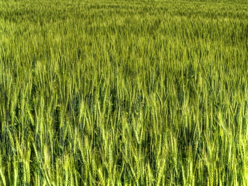 Green Wheat Field Background