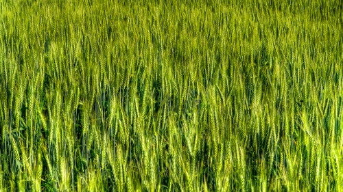Green Wheat Field Background HD