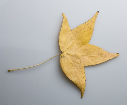 Dry Yellow Leaf Photo