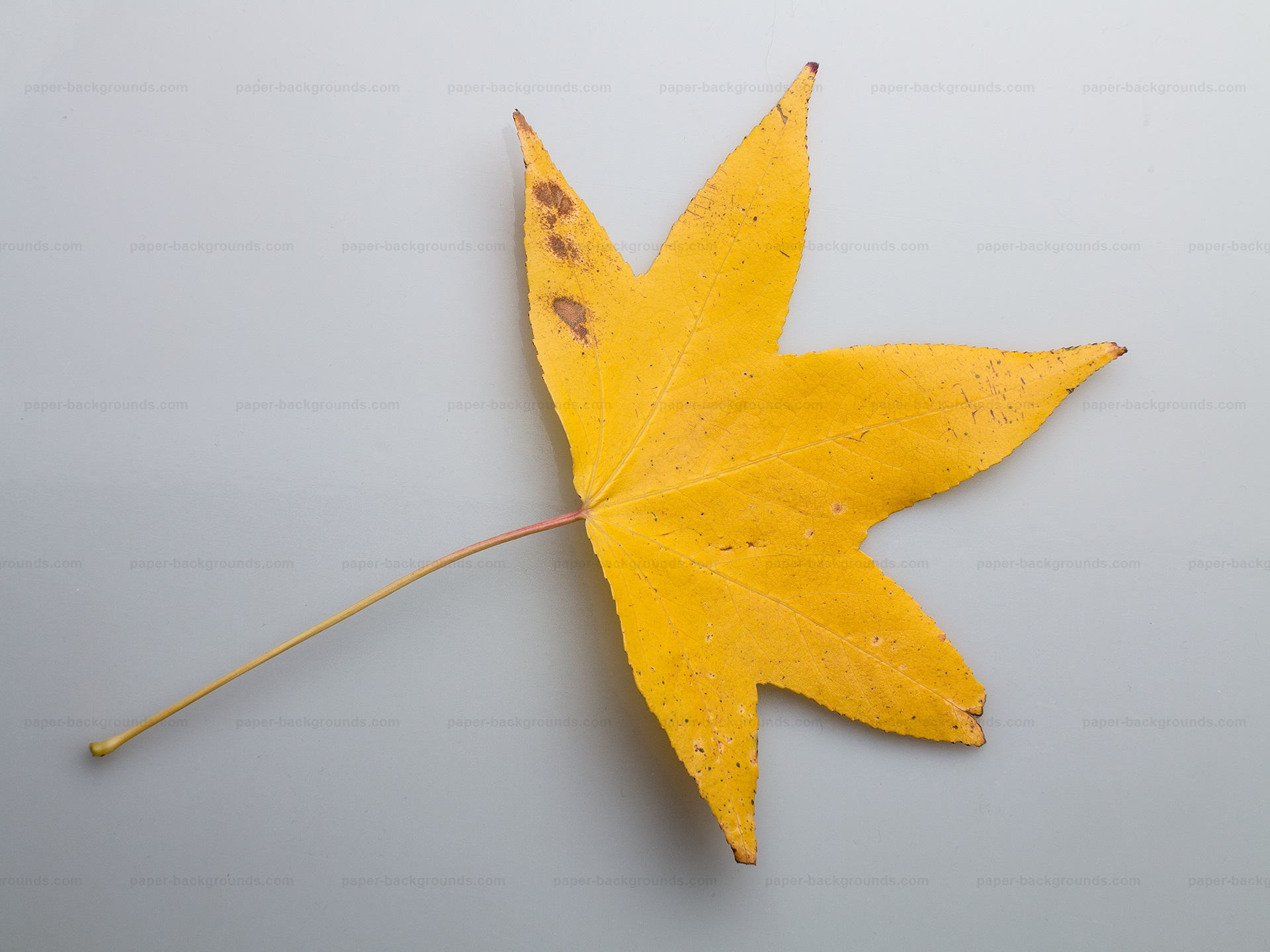 Dry Yellow Leaf Photo on White Background HD