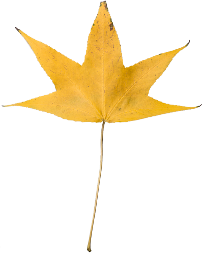 Yellow Dry Leaf Transparent, High Resolution