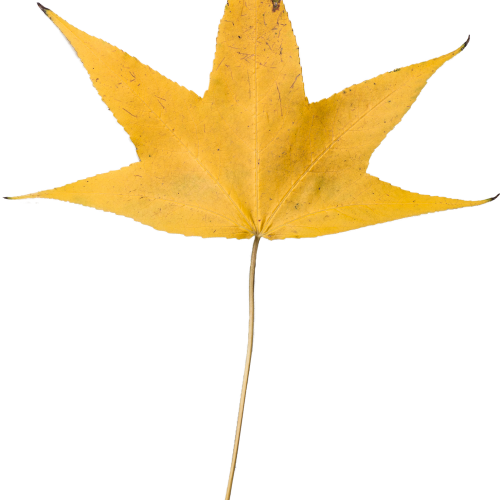 Yellow Dry Leaf Transparent HD 1920 x 1080p